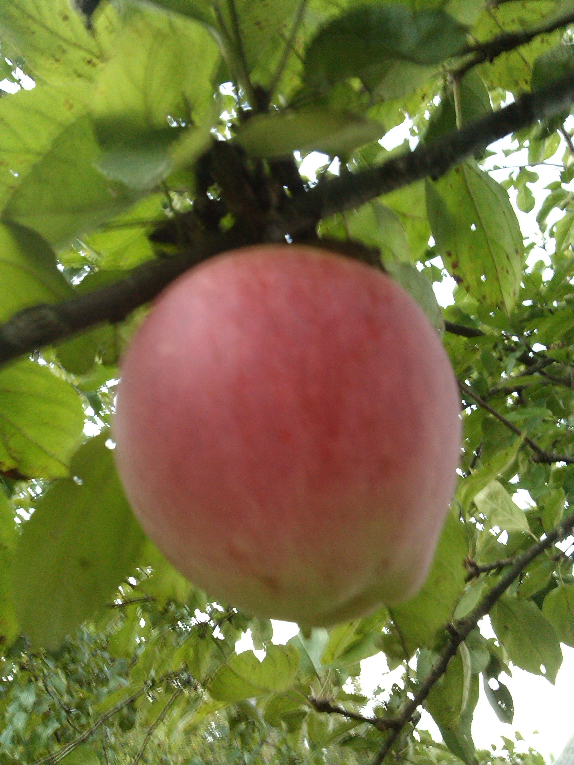 Чем полезны яблоки, сердечно-сосудистые заболевания