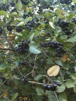 чем полезна черноплодная рябина или арония