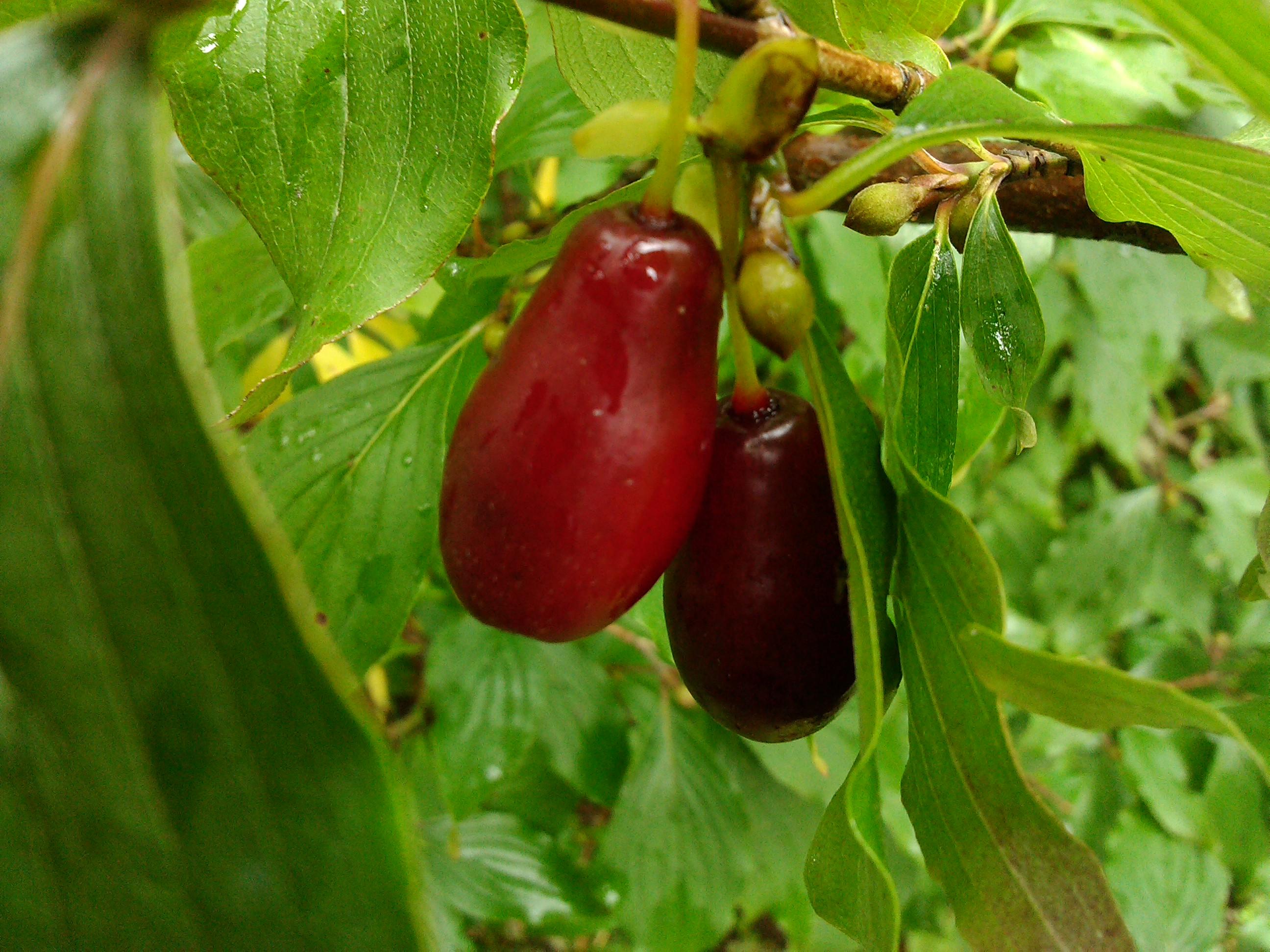 чем полезны ягоды кизила